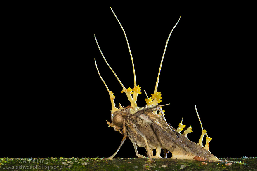 Cordyceps fruiting bodies erupting from a dead moth that the fungus has killed. Danum Valley, Sabah, Borneo. June.