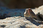 Cassin's finch, (Carpodacus cassinnii), male adult and fledgling, perched on granite boulders, summer, June, Rocky Mountains, Colorado, USA