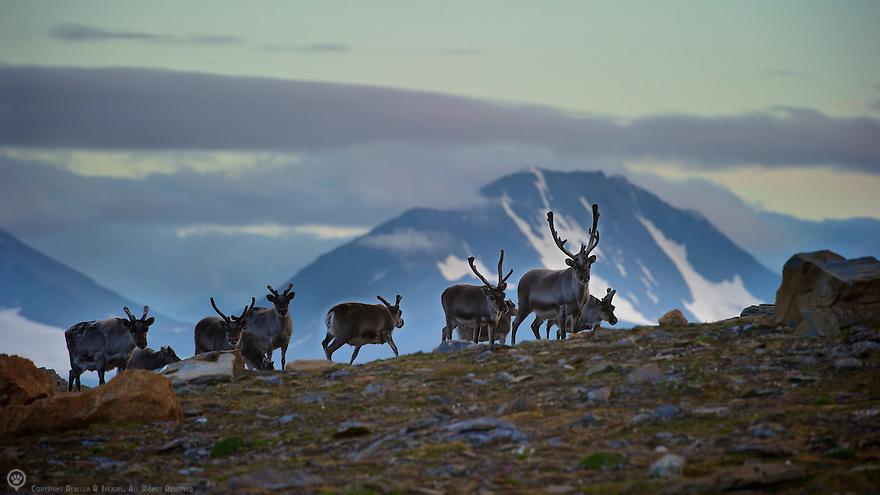 Svalbard reindeer herd on a ridge in St Jonsfjorden in Svalbard.