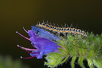 Natternkopf-Grasminiermotte, Nachtfalter - Grasminiermotte, Grasminiermotte, Raupe frisst an Natternkopf, Ethmia bipunctella, Viper's Bugloss Moth, Vipers Bugloss Moth, Bordered Ermel, Bordered Echium Ermel, caterpillar, Grasminiermotten, Elachistidae, Ethmiidae