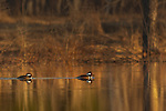 Drake hooded mergansers in northern Wisconsin.