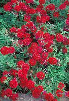 Annual red flowers Verbena 'Claret'