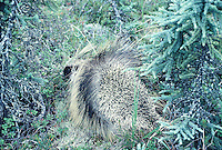 Porcupine seen in Alaska on a summer day.
