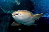 Nurse Shark (Ginglymostoma cirratum) (c) (do)