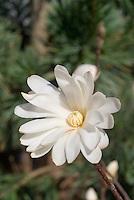 Magnolia stellata 'Centennial' in spring bloom, white flowering Star Magnolia tree