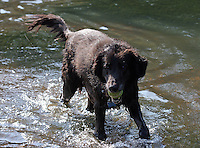 A happy dog retrieves his tennis ball in the Rivanna River in Charlottesvile, VA