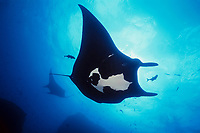 giant oceanic manta ray, Mobula birostris, formerly Manta birostris, is cleaned of parasites by jacks at sea mount, San Benedicto, Revillagigedos (Socorro) Islands, Mexico, Pacific Ocean