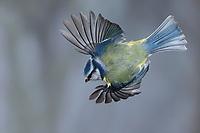 Blaumeise, Flug, Flugbild, fliegend, Blau-Meise, Meise, Meisen, Cyanistes caeruleus, Parus caeruleus, blue tit, tit, tits, flight, flying, La Mésange bleue