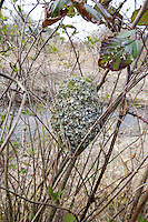 Schwanzmeise, Nest, Kugelnest, Schwanz-Meise, Meise, Meisen, Aegithalos caudatus, long-tailed tit, Mésange à longue queue