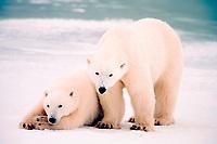 polar bears, Ursus maritimus, female with young, Churchill, Manitoba, Canada, polar bear, Ursus maritimus