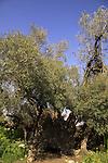 T-125 Olive tree on Mount Tzuba