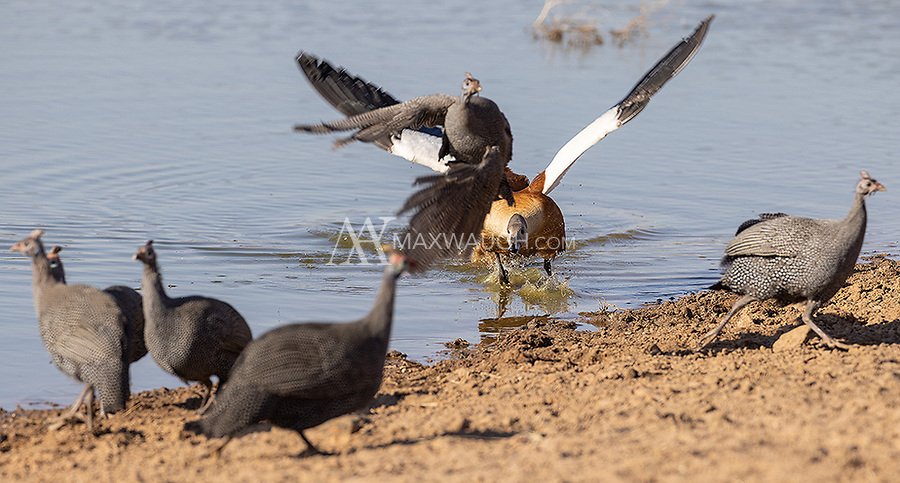 It was our first time photographing this species. The male didn't seem keen on sharing a watering hole with other birds of similar size. It spent a lot of time chasing guineafowl.