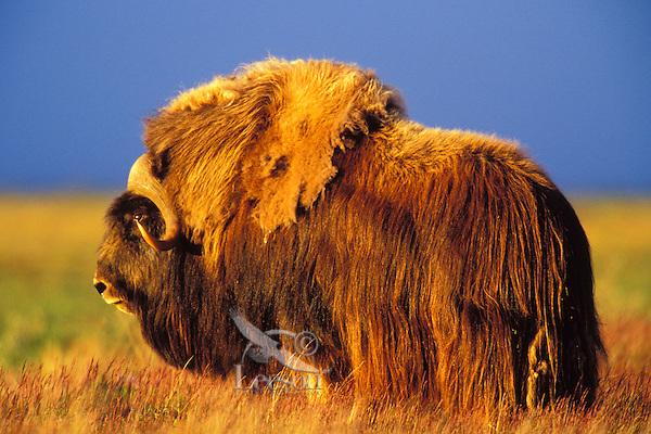 MB414  Muskox bull in 4a.m. light.  Arctic NWR, Alaska.  Summer.