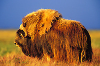 MB414  Muskox bull in 4a.m. light.  Arctic NWR, Alaska.  Summer.