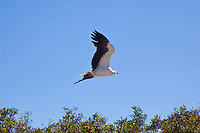 White-Bellied Sea-Eagle, Adelaide River cruise, NT, Australia