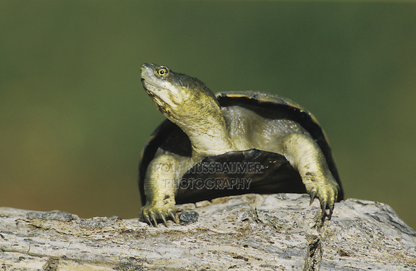 Yellow Mud Turtle (Kinosternon flavescens), adult sunning on log, Starr County, Rio Grande Valley, Texas, USA