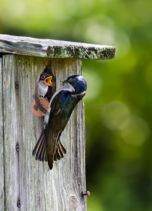 Tree Swallow feeding bug to nestling in nest box