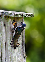 Tree Swallow feeding bug to nestling in nest box