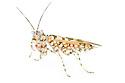 Spiny Flower Mantis {Pseudocreobotra wahlbergii}. Captive, originating from Africa. website