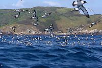 Cape Petrels in flight at the Snares Islands, Antarctica