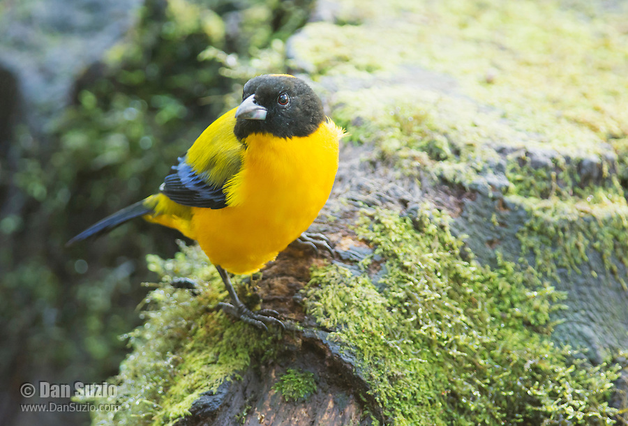 Black-chinned mountain tanager, Anisognathus notabilis. Refugio Paz de las Aves, Ecuador