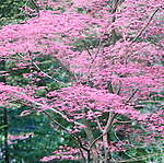 Japanese Maple in spring red foliage.  The Japanese Garden in Portland is a 5.5 acre respit.  Said to be one of the most authentic Japanese Garden's outside of Japan, the rolling terrain and water features symbolize both peace and strength. Public, city facility