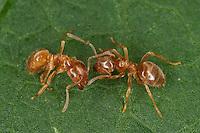 Gelbe Wiesenameise, Gelbe Wiesen-Ameise, Gelbe Wegameise, Bernsteingelbe Ameise, Lasius flavus, Cautolasius flavus, Yellow Meadow Ant