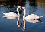 A pair of swans in the pond at Keswick Vineyards, in Keswick Virginia.