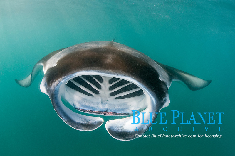 reef manta ray, Mobula alfredi, filter-feeding on plankton, with gill arches visible inside open mouth and vestigial tooth band visible on lip of lower jaw; unfurled cephalic fins help funnel plankton into mouth; Hanifaru Bay, Hanifaru Lagoon, Baa Atoll, Maldives, Indian Ocean