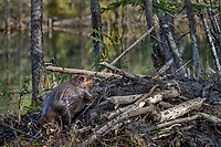 North American Beaver (Castor canadensis) working on lodge--sealing with mud.  Beaver is carrying a load of mud with his front feet.  Beaver lodges are covered with mud over tree branches to help seal out winter cold also adds protection from predators.  British Columbia, Canada.  Fall.