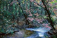 Fall dogwoods at Tenaya Creek, Yosemite Valley.