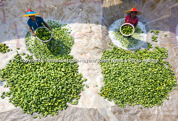 """Cucumber farmer work hard to clean their crop of cucumbers. Ahsanul Haque Nayem managed to capture these shots as the farmers prepare to sell the cucumbers at markets.  Ahsanul said """"The farmers dig a hole in the ground and filling it with water. They then soak the cucumbers in the water and clean them.  The cleaned cucumbers are then put in plastic bags ready for sale.""""These sacks of cucumbers each weigh around 60-70kg and sell for around £7 per sack. These specific ones have been cleaned and packaged in Tarash Upazila in Sirajganj distract in Bangladesh, but are sent to markets all across the country.<br /> <br /> Please byline:  Ahsanul Haque Nayem/Solent News<br /> <br /> © Ahsanul Haque Nayem/Solent News & Photo Agency<br /> UK +44 (0) 2380 458800"""