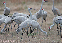 0102-1003  Flock of Sandhill Cranes Eating in Field during Winter, Grus canadensis  © David Kuhn/Dwight Kuhn Photography