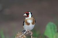 Stieglitz, Distelfink, Carduelis carduelis, European goldfinch