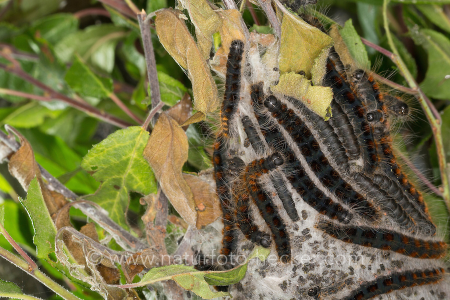Wollafter, Frühlings-Wollafter, Raupe, Raupen, Raupengespinst, Eriogaster lanestris, Bombyx lanestris, Small Eggar, caterpillar, caterpillars, bombyx laineux, laineuse du cerisier