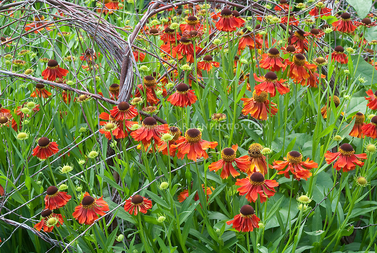 Sneezeweed red Helenium 'Moerheim Beauty' staked with willow branches