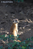 0329-1002  Meerkat, Suricata suricatta  © David Kuhn/Dwight Kuhn Photography.