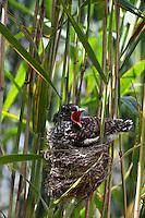 Kuckuck, Küken im Nest eines Teichrohrsänger, Brutparasitismus, Cuculus canorus, Cucullus canorus, cuckoo
