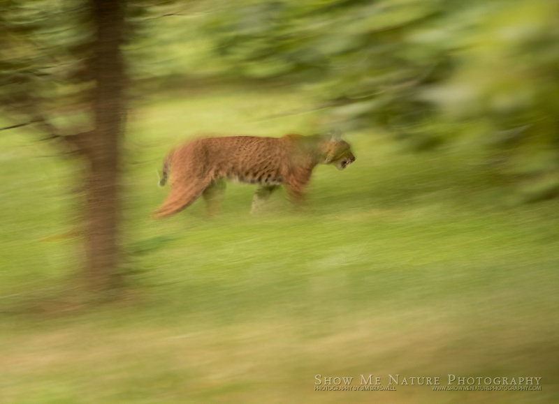 Large Bobcat emerges from the woods and crosses my front yard