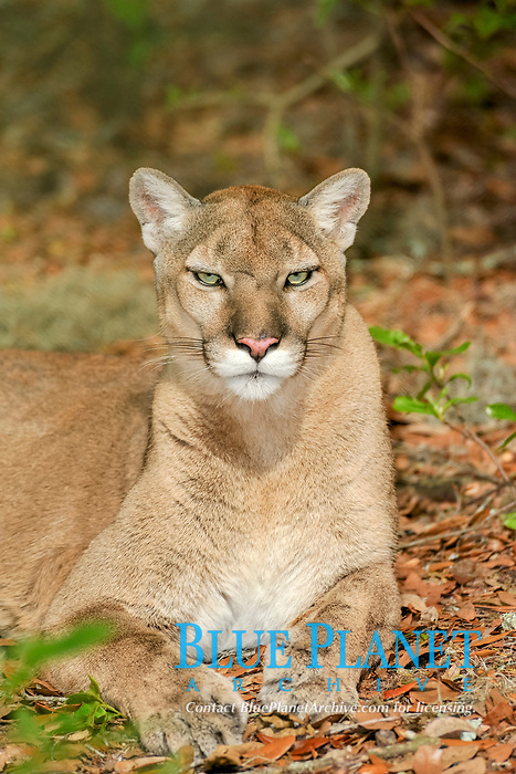 Florida panther, Puma concolor coryi, Florida, captive