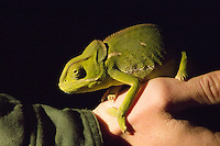 Flap-necked Chameleon at night in Sabi Sands Private Game Reserve, near Kruger, South Africa