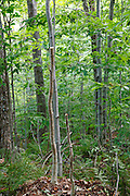 Two young trees that have been cut three feet off the ground (waist level) along the Mt Tecumseh Trail in the New Hampshire White Mountains in 2011. Proper brushing technique, per trail maintenance guidelines, is to cut young trees flush with the ground. Leaving pointed stumps are dangerous if stepped or fallen upon. If a hiker falls on these pointed stumps they could be injured. These two trees have been cut down to ground level since this photo was taken.