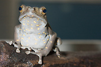 Asian Climbing Toad, Pedostibes hoseii, mating