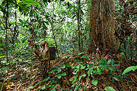 The women go into the forest to gather wild yams for the meals, some palm nuts and also Koko leaves, the leaves of a liana used to prepare a sauce. The Koko leaves are also traded or sold to the Bantu masters who sell them in the market of  Pokola, the neighboring city.///Les femmes partent en foret pour les récoltes d'ignames sauvages pour les repas, de quelques noix de palmes et aussi de feuilles de koko, les feuilles d'une liane utilisées pour la préparation d'une sauce. Les feuilles de Kokos sont aussi vendues ou échangé aux maîtres bantous qui les vendent sur le marché de Pokola la ville voisine.