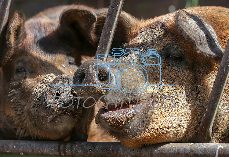 Pigs at Holley Family Farms in Dayton Valley, Nev. on Friday, Sept. 30, 2016. <br />Photo by Cathleen Allison