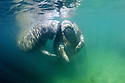 Florida Manatee (Trichechus manatus latirostrus).Three Sisters Springs, Crystal River, FL<br /> <br /> Filmed on location at Crystal River National Wildlife Refuge, Crystal River, Florida, courtesy of the U.S. Fish and Wildlife Service.