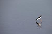 A black-winged stilt wades in a river in Kruger National Park.