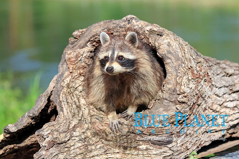 Raccoon (Procyon lotor), female, adult, at the den, tree trunk, Montana, USA, North America
