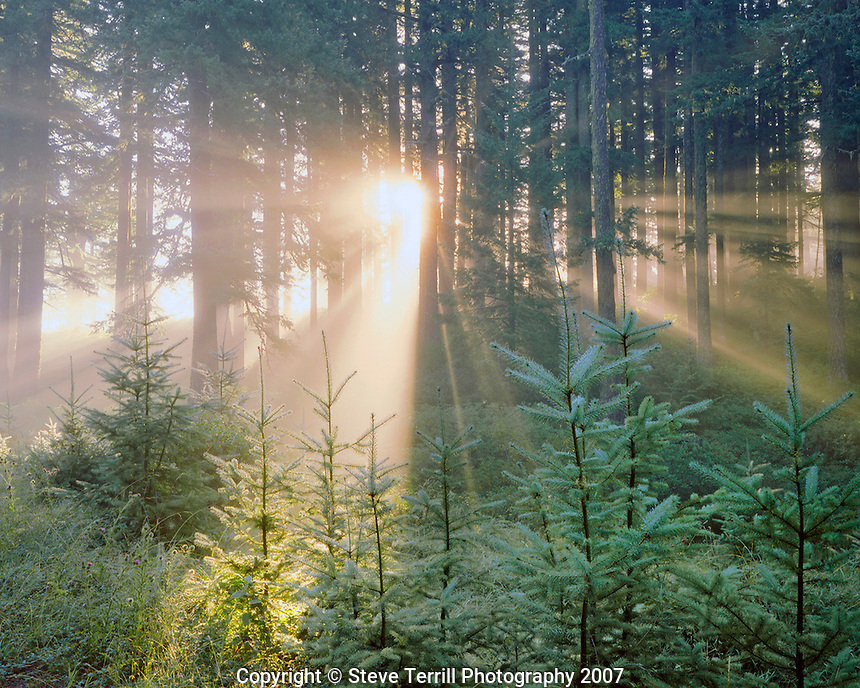 Fog and sun rays through trees in Wild Rogue Wilderness, Oregon