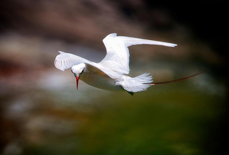 Red-tailed Tropicbirds. Kilauea Point National Wildlife Refuge. Kauai, Hawaii.